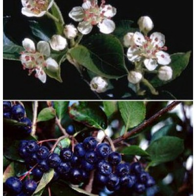 Aronia melanocarpa 'Autumn Magic' 6L