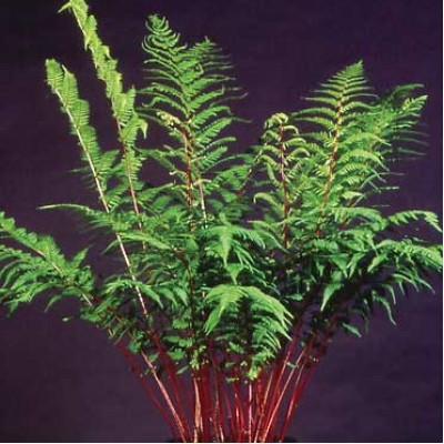 Athyrium felix-femina  'Lady in Red' 3L