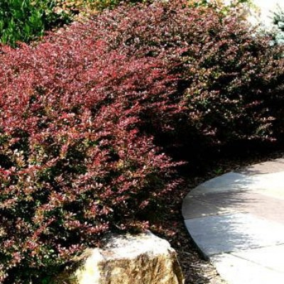 Berberis thunbergii 'Royal Cloak' 6L