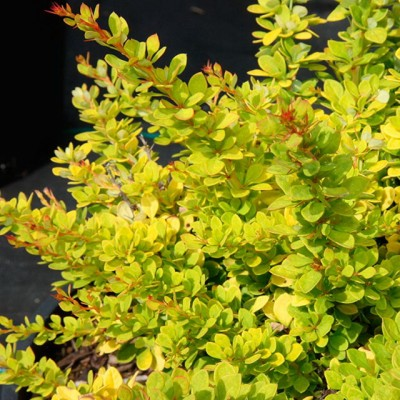 Berberis thunbergii 'Sunsation' 6L