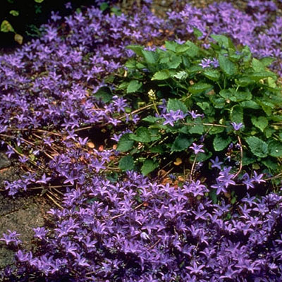 Campanula pos. 'Blue Waterfall' 3L
