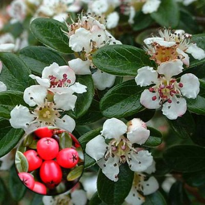 Cotoneaster 'Coral Beauty' 6L
