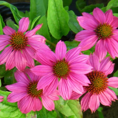 Echinacea purp. 'Pow Wow Wildberry' 3L