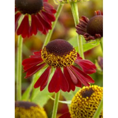 Helenium 'Ruby Tuesday' 3L