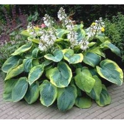 Hosta sieb. 'Frances Williams'