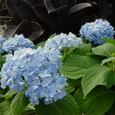 Hydrangea macrophylla 'Endless Summer' 6L