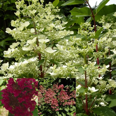 Hydrangea paniculata 'Fire and Ice' 6L