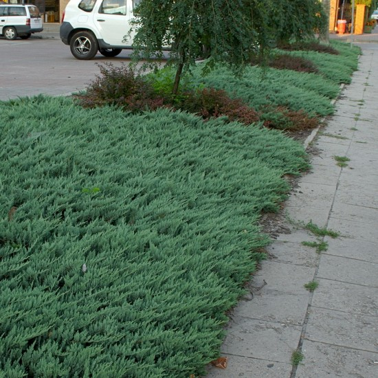 Juniperus horizontalis 'Blue Chip' 10L