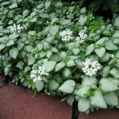 Lamium mac. 'White Nancy' 3L