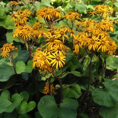 Ligularia 'Othello' 3L