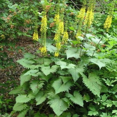 Ligularia 'The Rocket' 3L