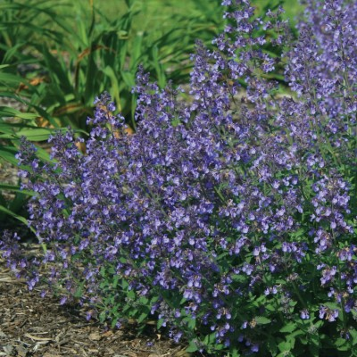 Nepeta x 'Junior Walker' 3L