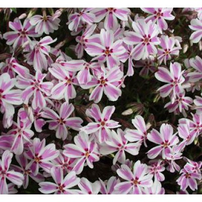 Phlox sub. 'Candy Stripes' 3L