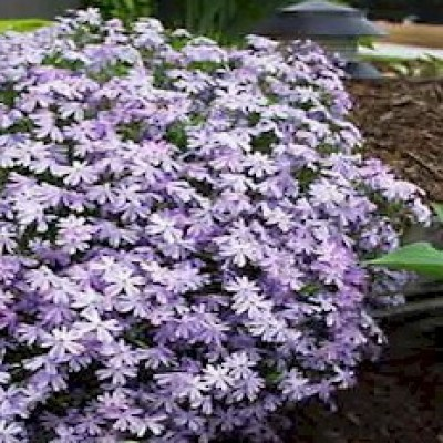 Phlox subulata 'Emerald Blue' 3L