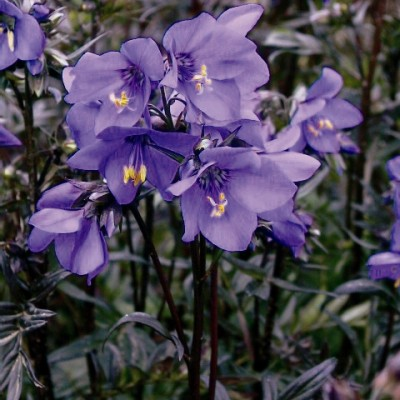Polemonium 'Bressingham Purple' 3L