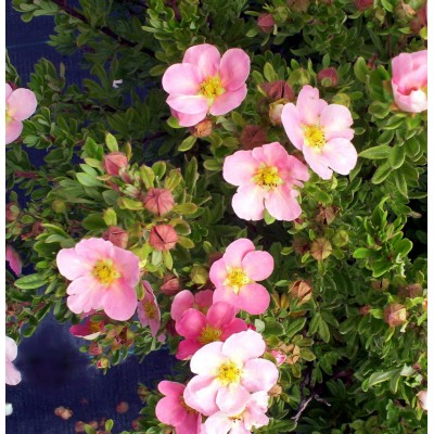 Potentilla fruticosa 'Pink Beauty' 6L