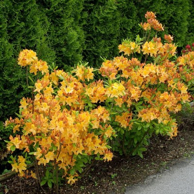 Azalea 'Golden Lights' 6L