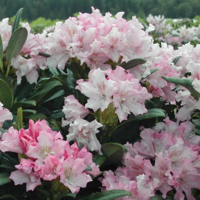Rhododendron 'Pohjola's Daughter' 6L