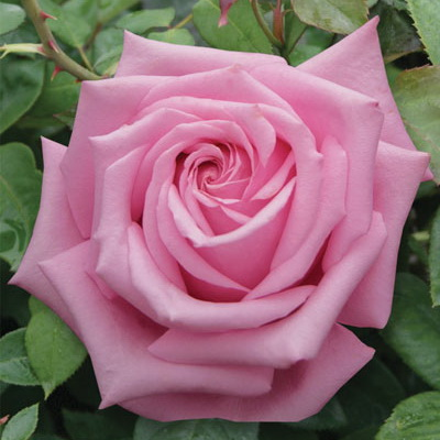 Rosa hyb. 'Royal Kate' 6L