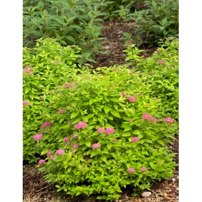 Spiraea japonica Double Play 'Gold' 6L