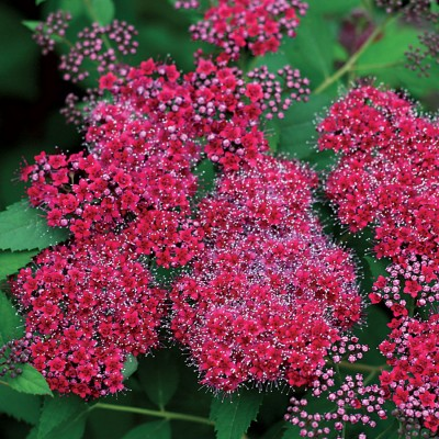 Spiraea japonica Double Play 'Red' 6L