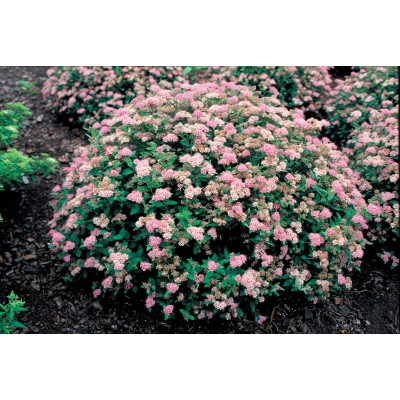 Spiraea japonica 'Little Princess' 6L