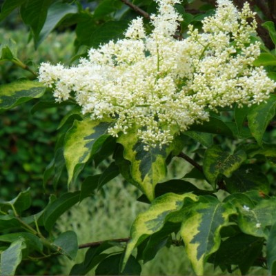 Syringa reticulata 'Golden Eclipse'