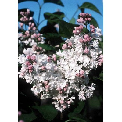 Syringa vulgaris 'Beauty of Moscow' 6L