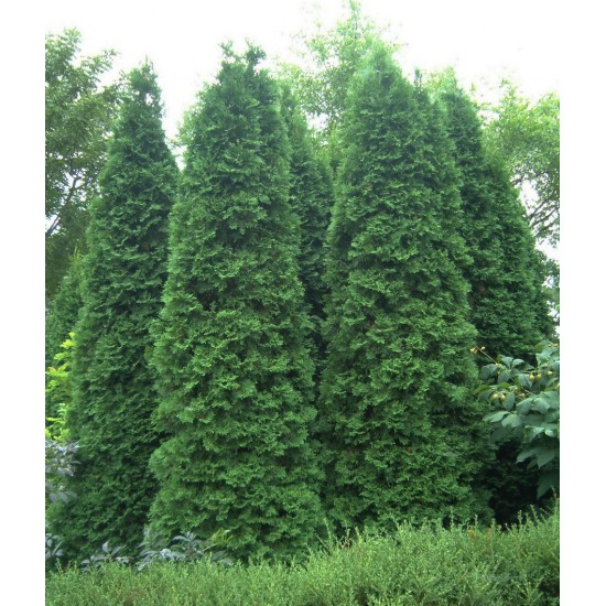 Thuja occidentalis 'Fastigiata'