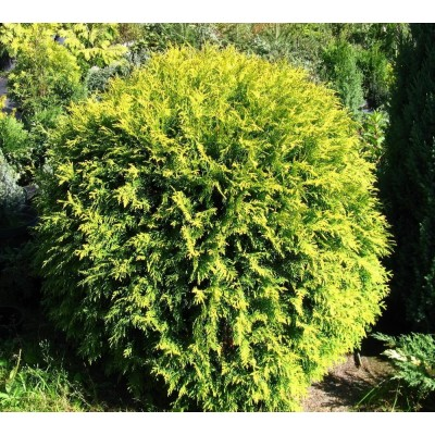 Thuja occidentalis 'Golden Globe' 10L