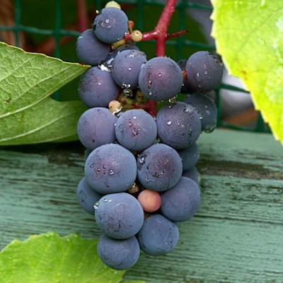 Vigne à raisin 'Beta' 6L