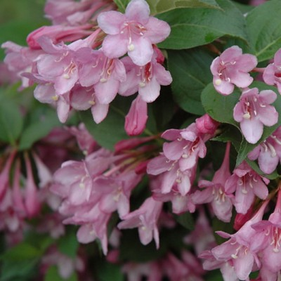 Weigela florida 'Pink Princess' 6L