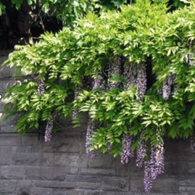 Wisteria mac. 'Blue Moon' 6L
