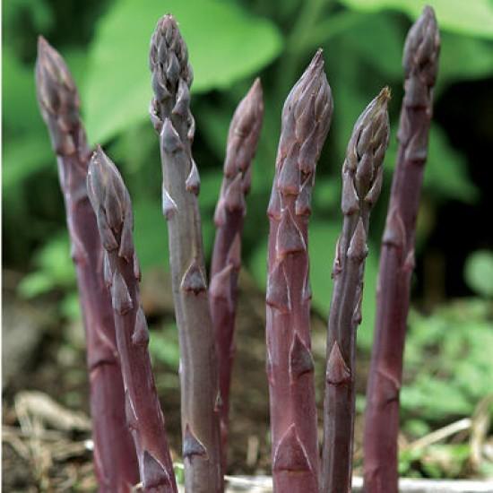 Asparagus 'Novelty Purple' 3L