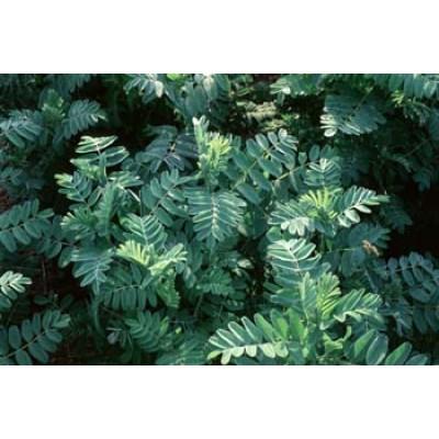 Astragalus membranaceus 3L