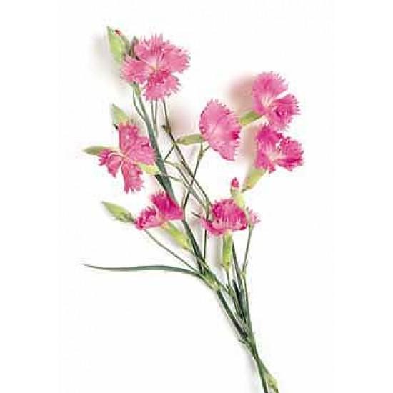 Dianthus x 'Rainbow Loveliness' 3L