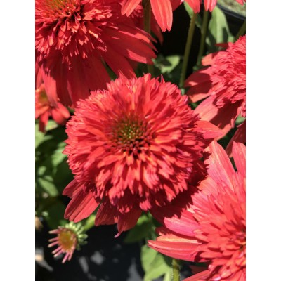 Echinacea Double Scoop 'Mandarin'