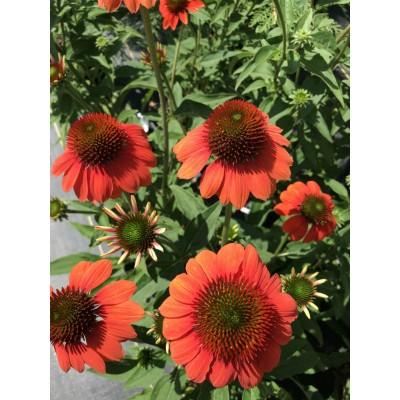 Echinacea Sombrero 'Flamenco Orange'