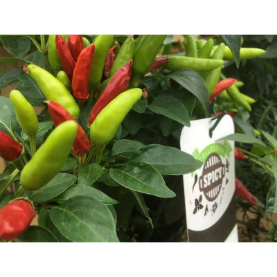 Piment 'Super Chili' 3L